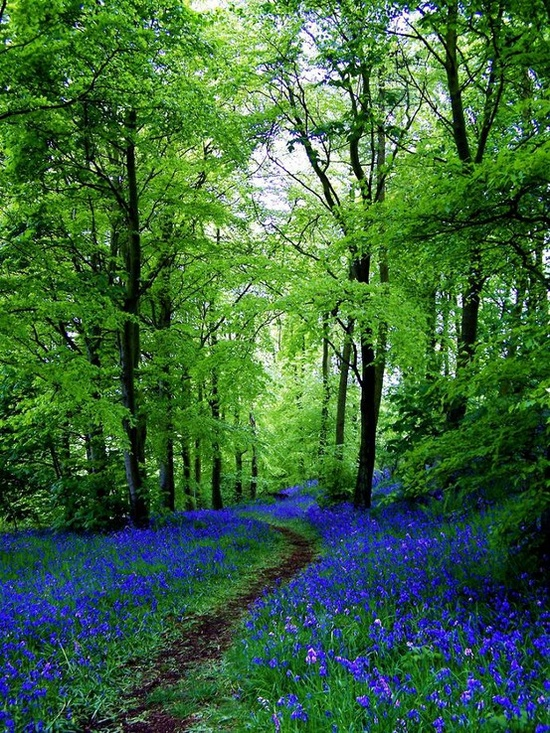 We Make the Road by Walking Vaca-bluebell-path-scotland