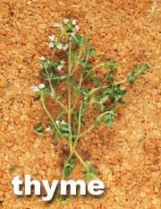 موسوعة البهارات والتوابل للمطبخ واستعمالاتها بالصور Thyme