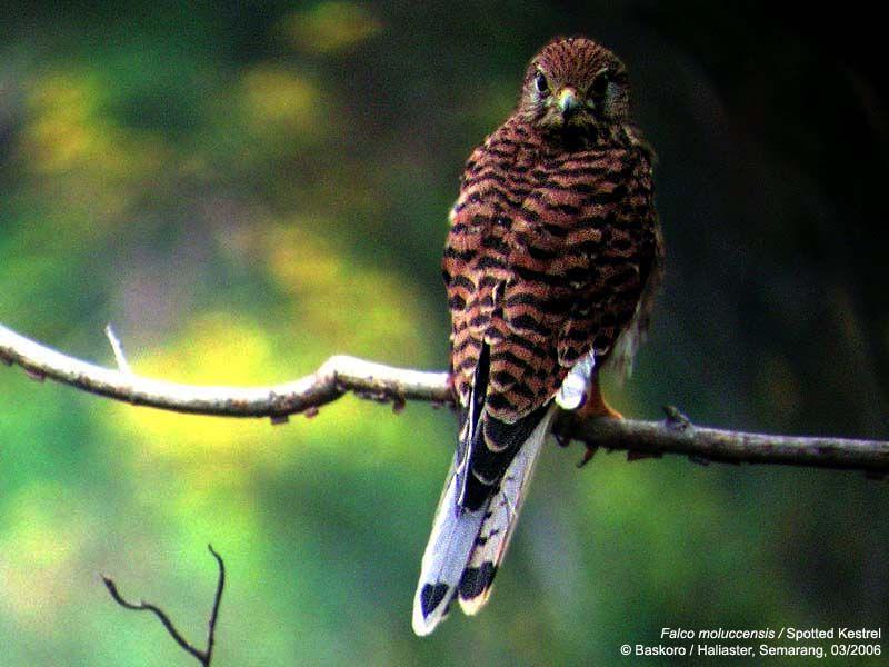 Falconiformes. sub Falconidae - sub fam Falconinae - gênero Falco - Página 2 Falco_moluccensis-03