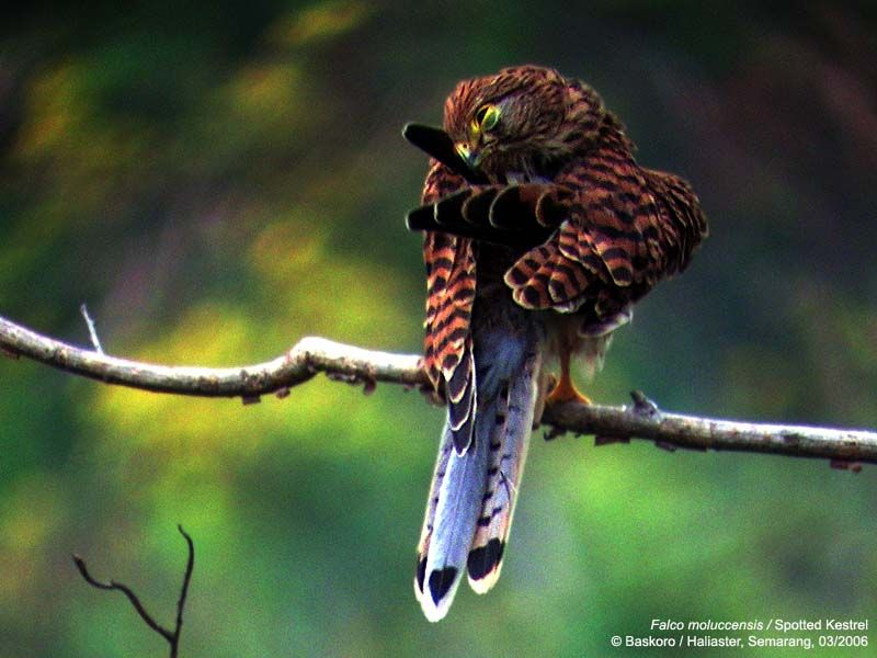 Falconiformes. sub Falconidae - sub fam Falconinae - gênero Falco - Página 2 Falco_moluccensis-04