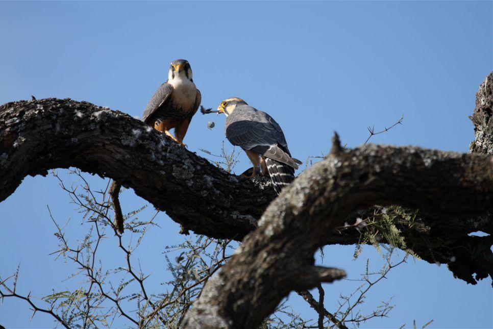 Falconiformes. sub Falconidae - sub fam Falconinae - gênero Falco Falco_deiroleucus-03