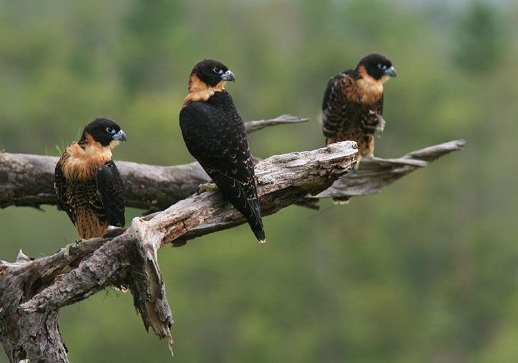 Falconiformes. sub Falconidae - sub fam Falconinae - gênero Falco Falco_deiroleucus-04