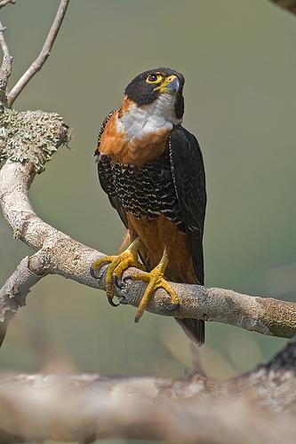 Falconiformes. sub Falconidae - sub fam Falconinae - gênero Falco Falco_deiroleucus-06