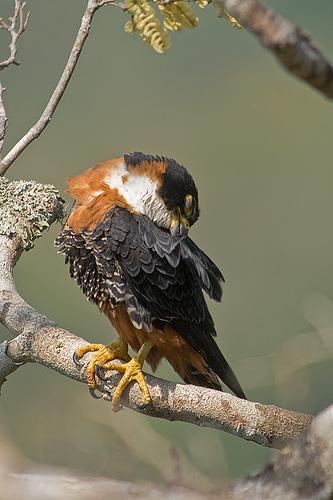 Falconiformes. sub Falconidae - sub fam Falconinae - gênero Falco Falco_deiroleucus-08