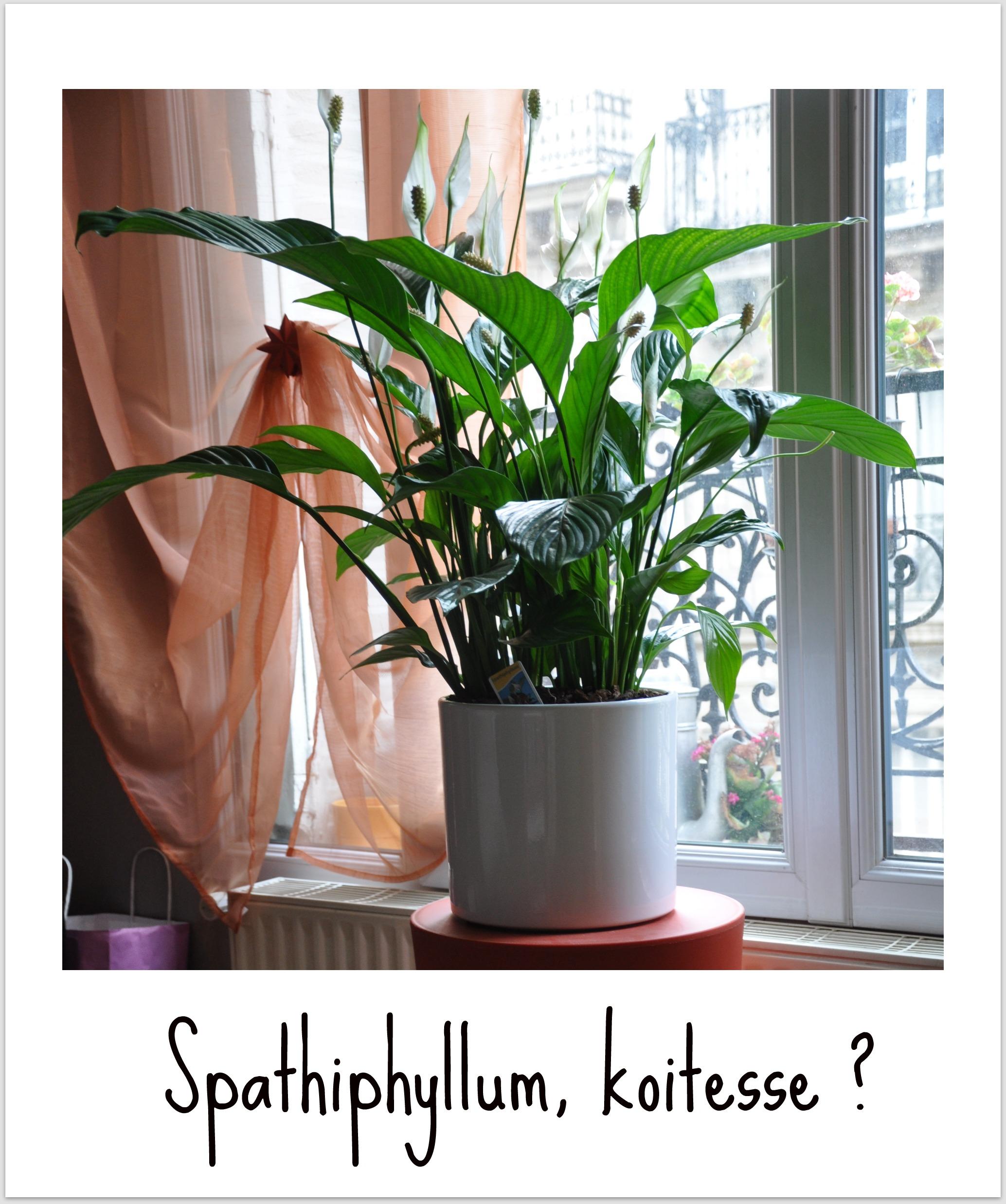 Plantes d'intérieurs et énergétique Spathiphyllum2