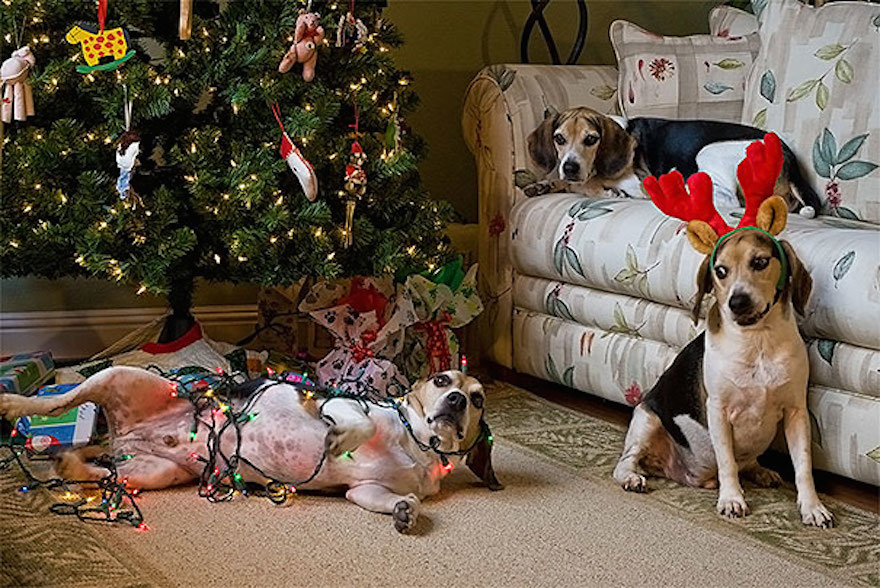27 Dogs and Cats That Destroyed Christmas XX-animals-destroying-Christmas-13__605