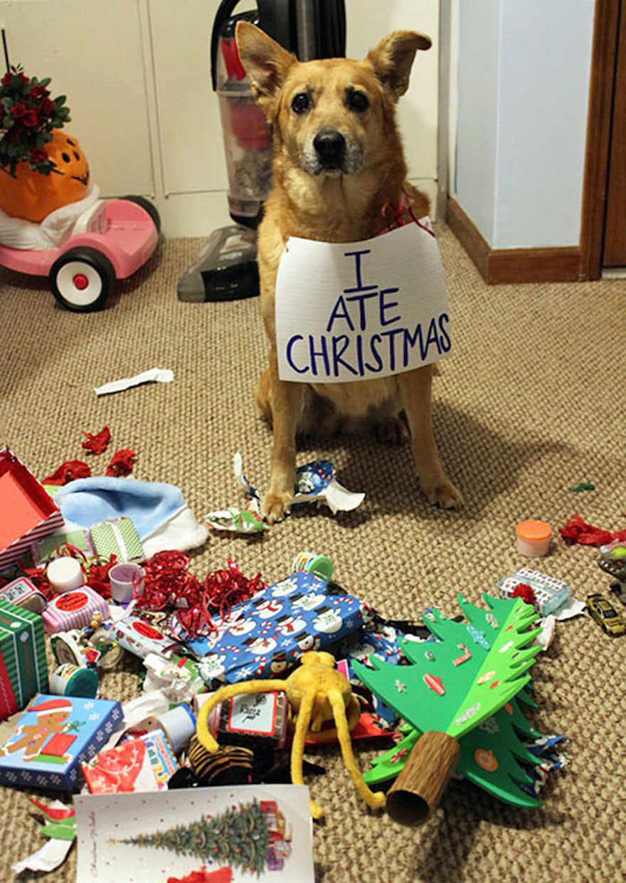 27 Dogs and Cats That Destroyed Christmas XX-animals-destroying-Christmas-3__605