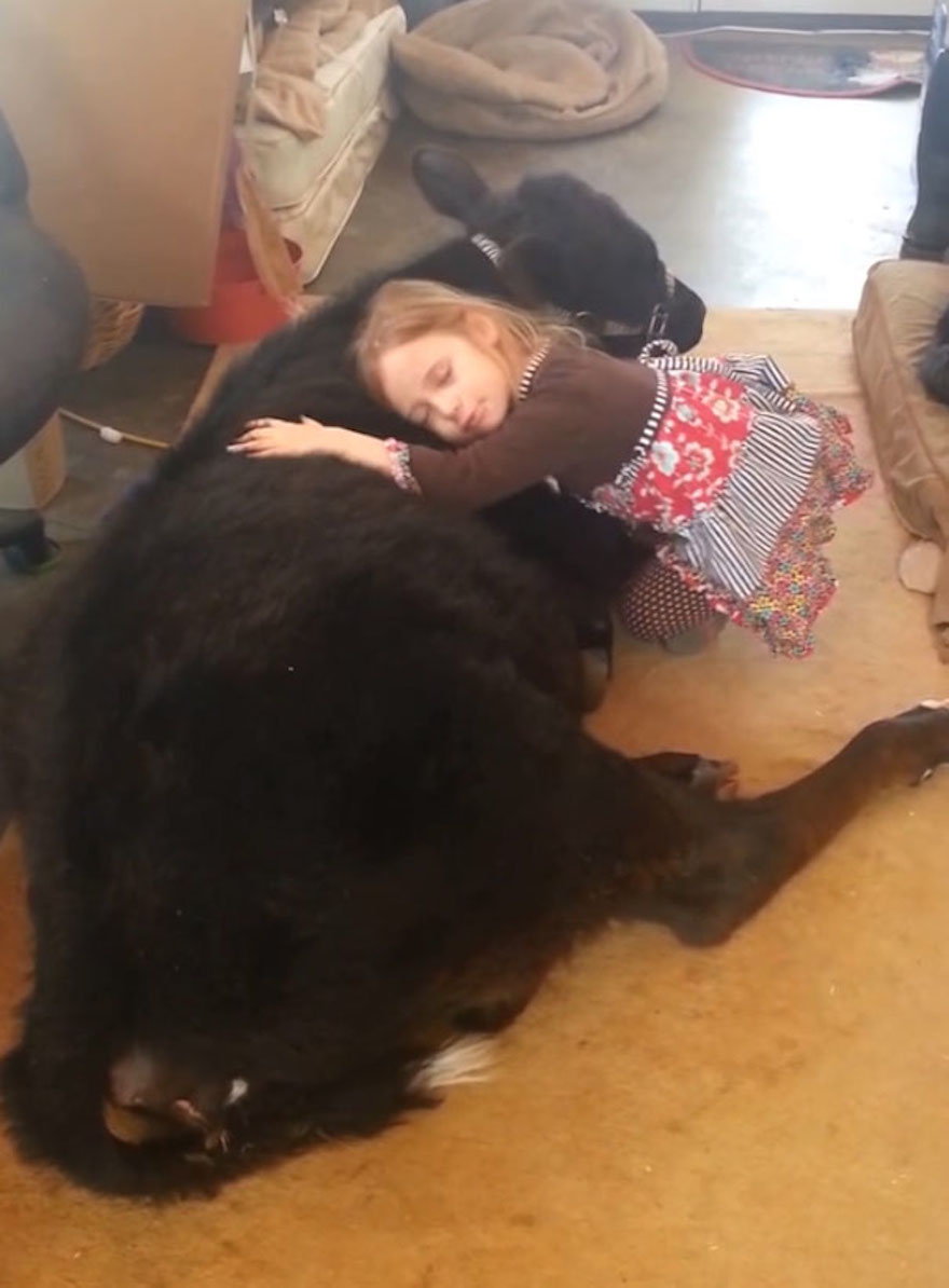 This 5-Year-Old Girl Snuck A Baby Cow Into Her Home To Cuddle With It Little-girl-pet-calf-cow-nap-breanna-izzy-10