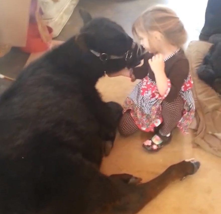 This 5-Year-Old Girl Snuck A Baby Cow Into Her Home To Cuddle With It Little-girl-pet-calf-cow-nap-breanna-izzy-3