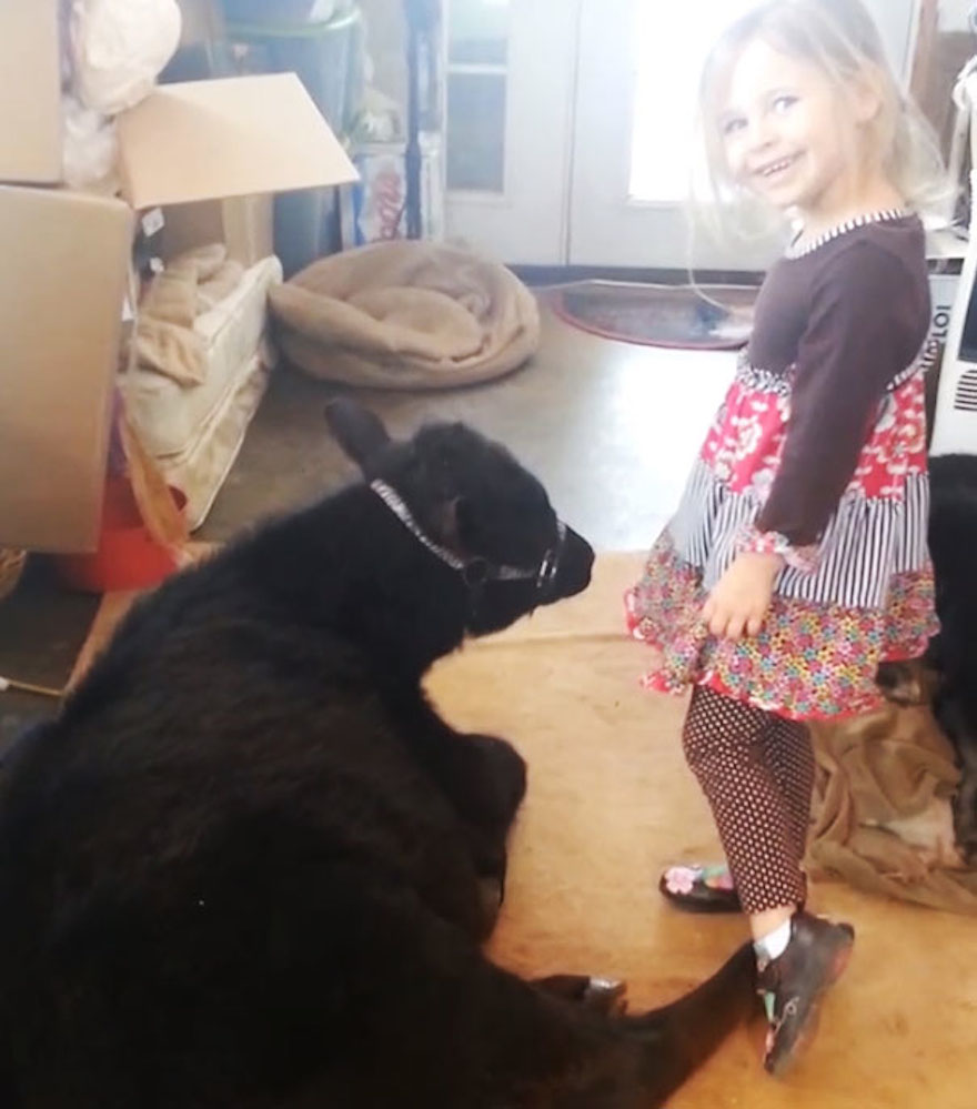 This 5-Year-Old Girl Snuck A Baby Cow Into Her Home To Cuddle With It Little-girl-pet-calf-cow-nap-breanna-izzy-4