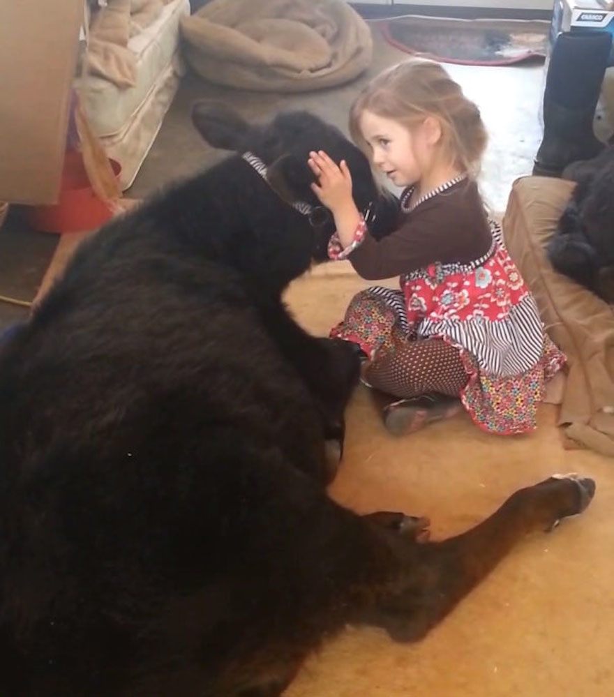 This 5-Year-Old Girl Snuck A Baby Cow Into Her Home To Cuddle With It Little-girl-pet-calf-cow-nap-breanna-izzy-5