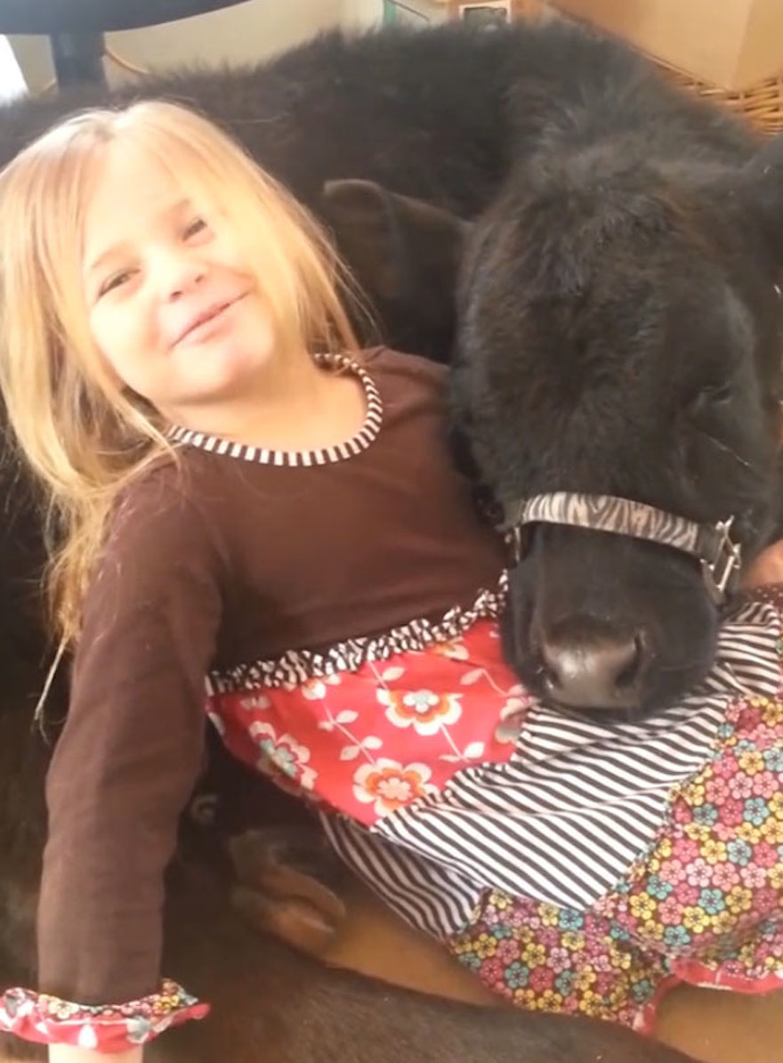 This 5-Year-Old Girl Snuck A Baby Cow Into Her Home To Cuddle With It Little-girl-pet-calf-cow-nap-breanna-izzy-9