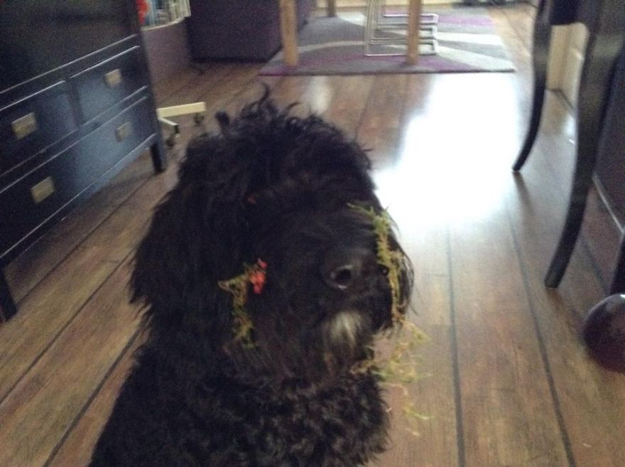 27 Dogs and Cats That Destroyed Christmas Marley-it-wasnt-me__880