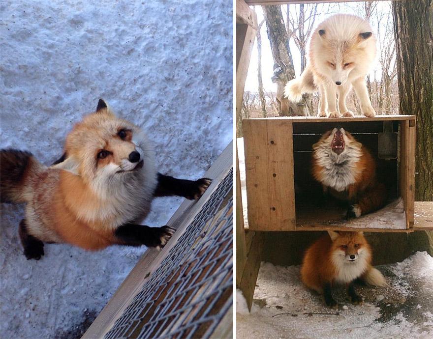 Japan's Fox Village Is The Cutest Place On Earth Zao-fox-village-japan-1