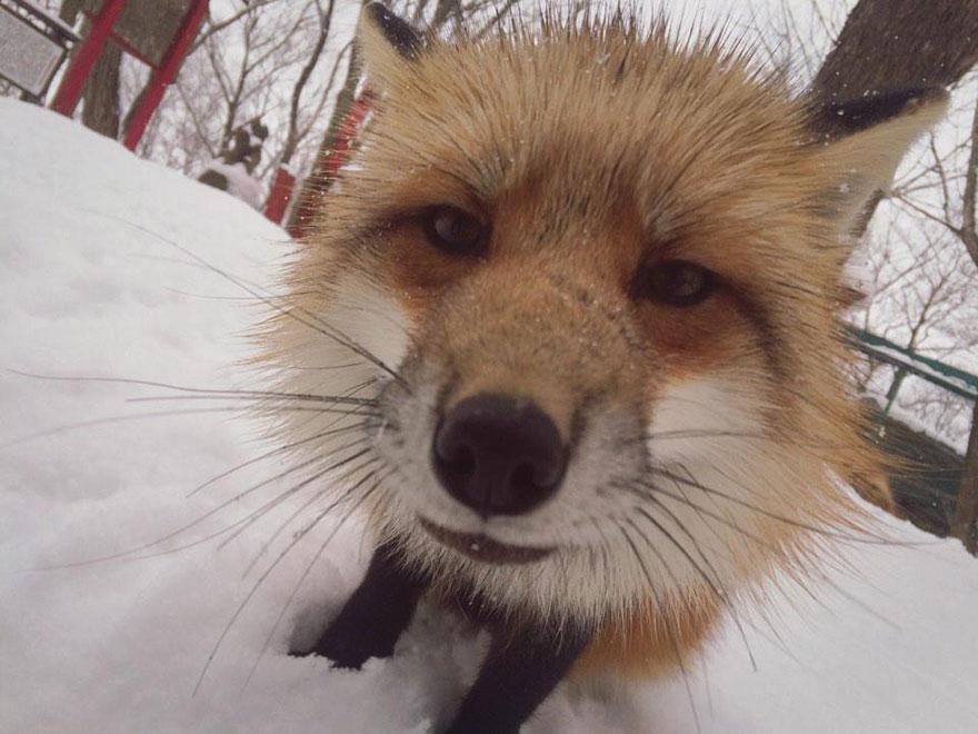 Japan's Fox Village Is The Cutest Place On Earth Zao-fox-village-japan-13