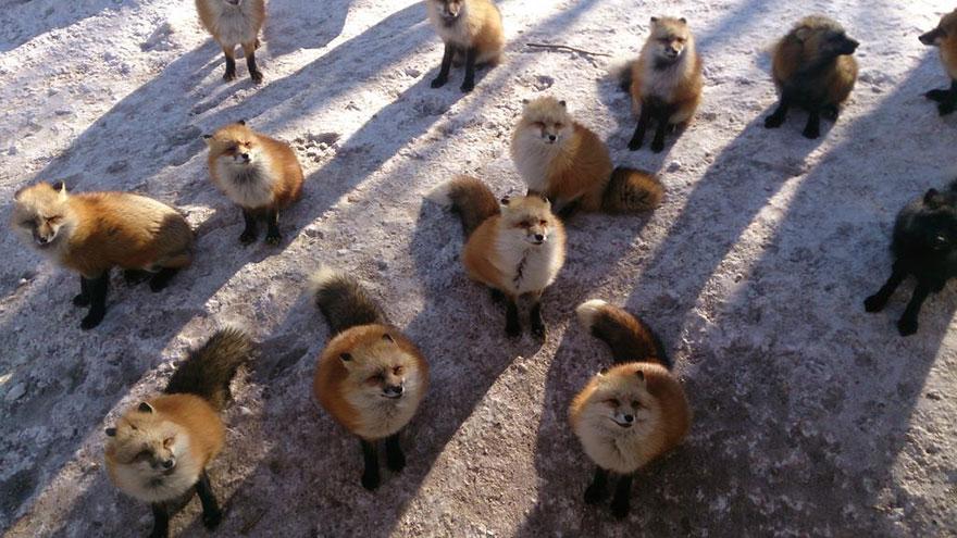 Japan's Fox Village Is The Cutest Place On Earth Zao-fox-village-japan-14