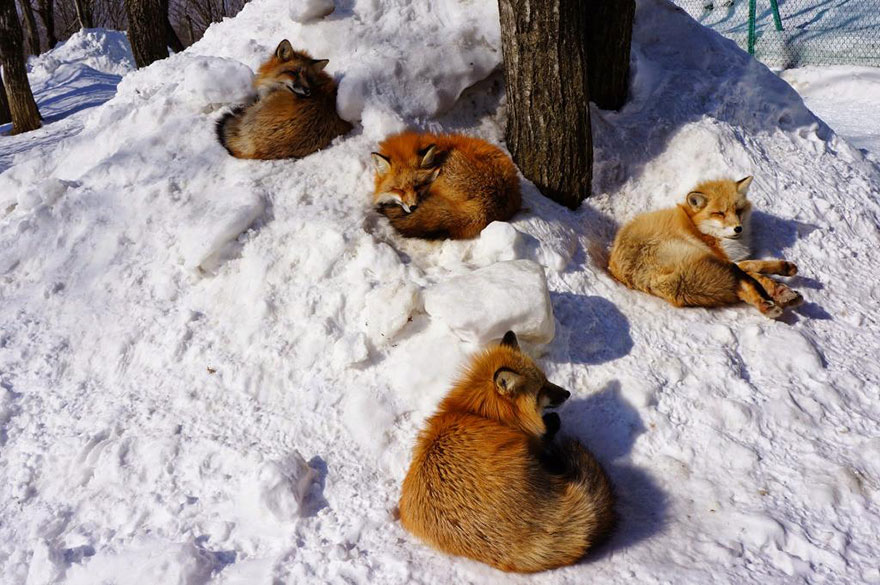 Japan's Fox Village Is The Cutest Place On Earth Zao-fox-village-japan-15