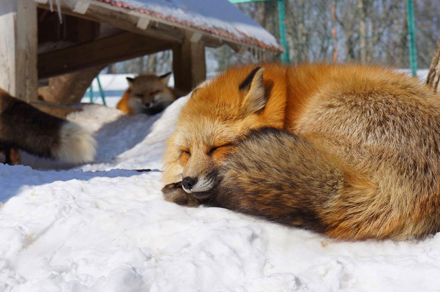 Japan's Fox Village Is The Cutest Place On Earth Zao-fox-village-japan-18
