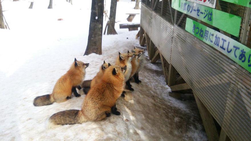 Japan's Fox Village Is The Cutest Place On Earth Zao-fox-village-japan-22