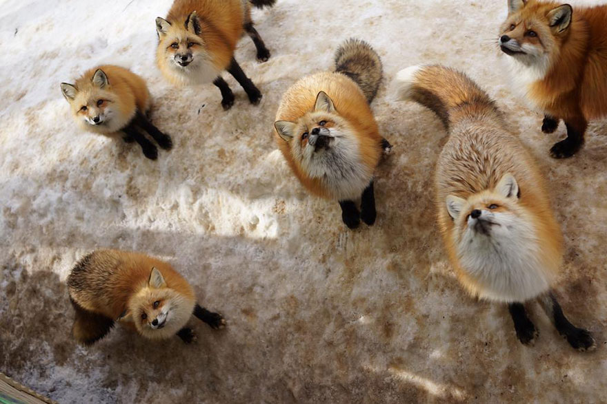 Japan's Fox Village Is The Cutest Place On Earth Zao-fox-village-japan-23