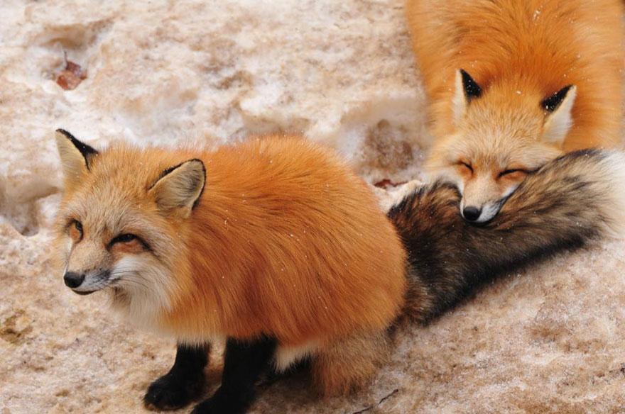 Japan's Fox Village Is The Cutest Place On Earth Zao-fox-village-japan-26
