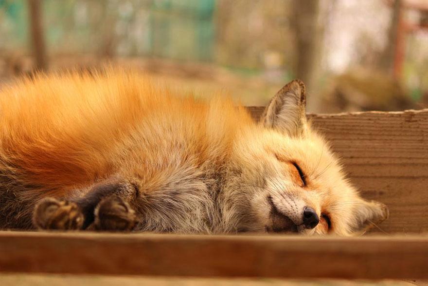 Japan's Fox Village Is The Cutest Place On Earth Zao-fox-village-japan-29