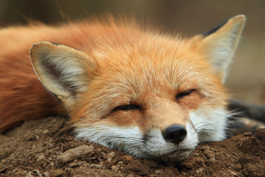Japan's Fox Village Is The Cutest Place On Earth Zao-fox-village-japan-3