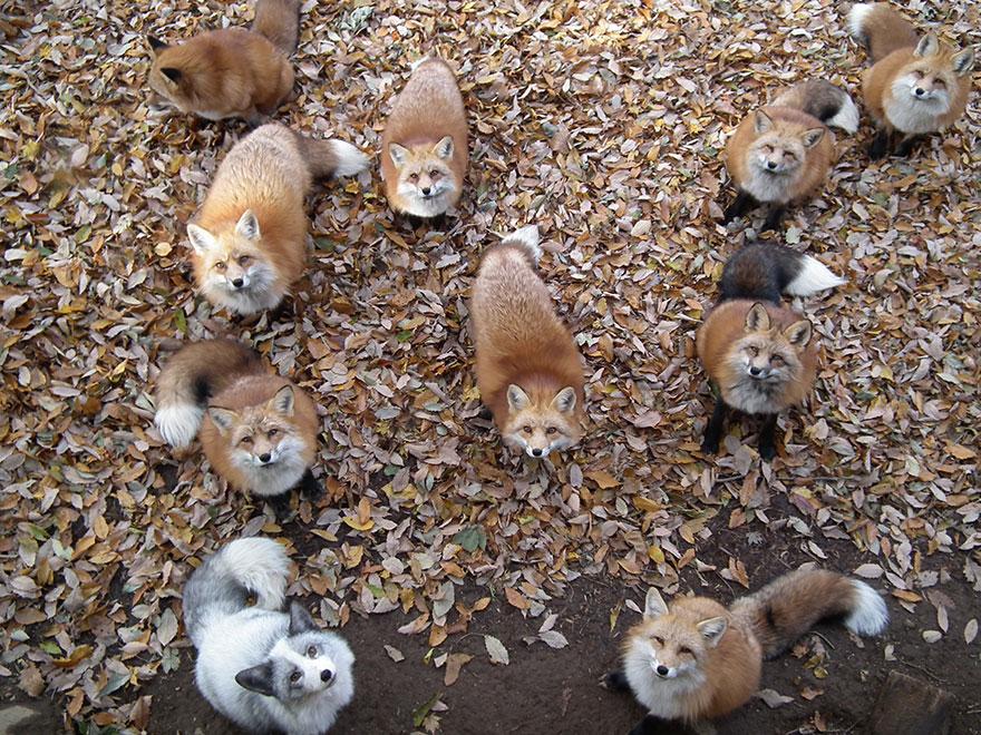 Japan's Fox Village Is The Cutest Place On Earth Zao-fox-village-japan-34