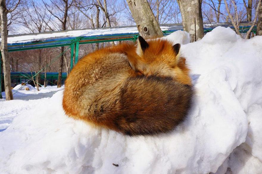 Japan's Fox Village Is The Cutest Place On Earth Zao-fox-village-japan-36