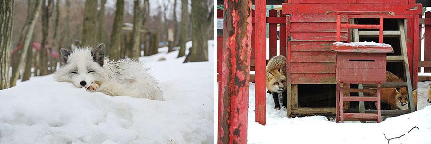 Japan's Fox Village Is The Cutest Place On Earth Zao-fox-village-japan-39