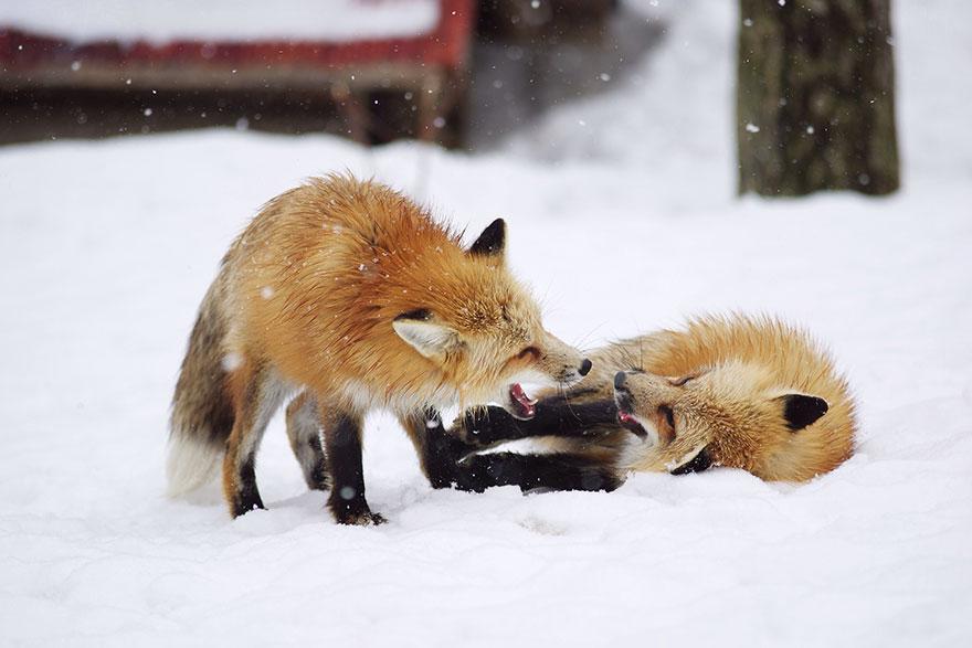 Japan's Fox Village Is The Cutest Place On Earth Zao-fox-village-japan-4