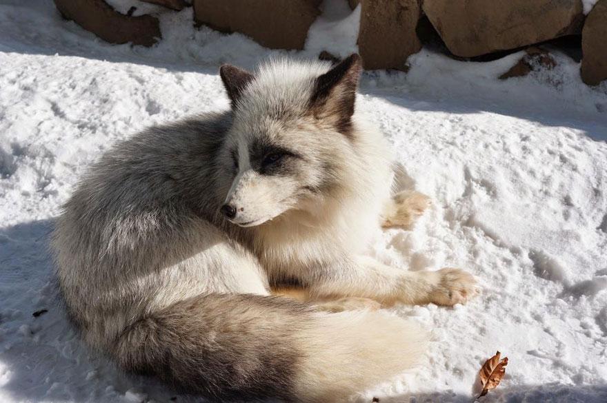 Japan's Fox Village Is The Cutest Place On Earth Zao-fox-village-japan-41