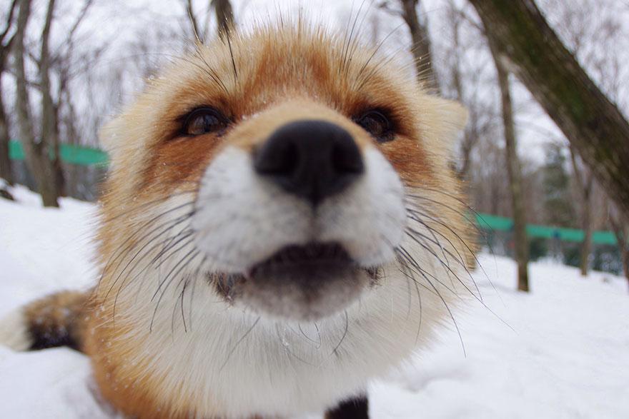 Japan's Fox Village Is The Cutest Place On Earth Zao-fox-village-japan-5