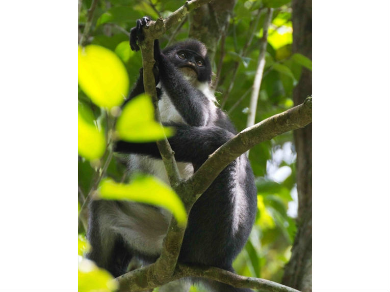 l'animal de Martin du 3 juillet trouvé par Snoopie Extinct-monkey-millers-grizzled-langur-borneo-wehea-forest_2012012
