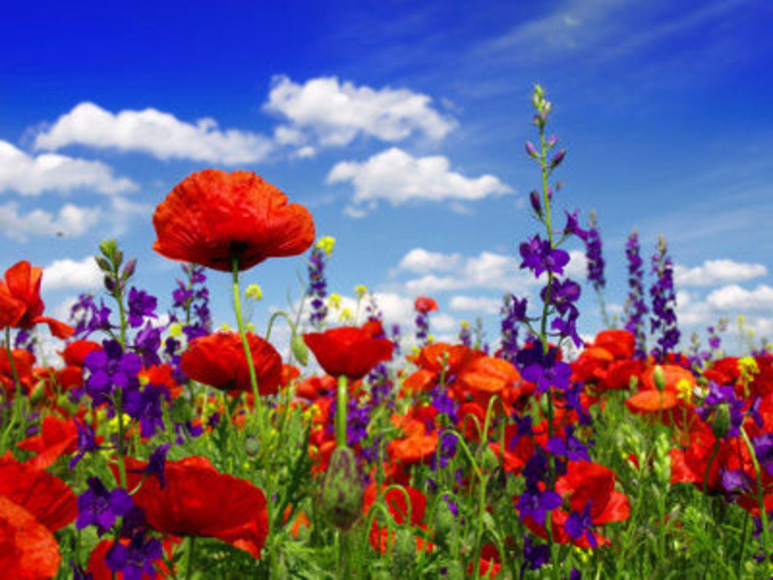 Une nouvelle fleur en plein questionnement - Page 4 Des-fleurs-des-champs-pour-un-mariage-printanier_4766091