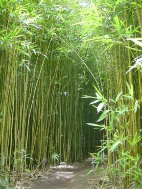 Glosario y propiedades mágicas de las plantas Bambu