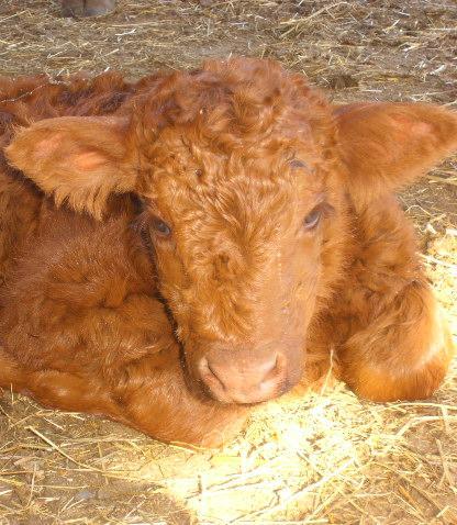 Vaches et Elevage Salers en Livradois 1257704696QGyWQf