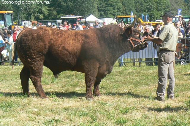 Vaches et Elevage Salers en Livradois 1285919850jQ3YlU