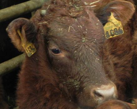 Vaches et Elevage Salers en Livradois 1298370363VB61pV