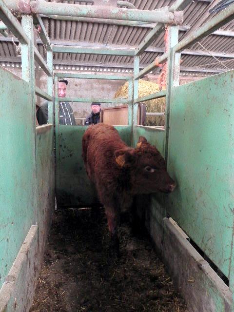 Vaches et Elevage Salers en Livradois 1298370377J4aUew