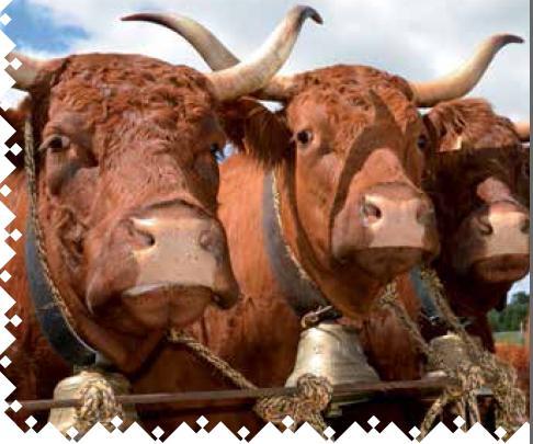 Vaches et Elevage Salers en Livradois - Page 2 1378589219yb95S1