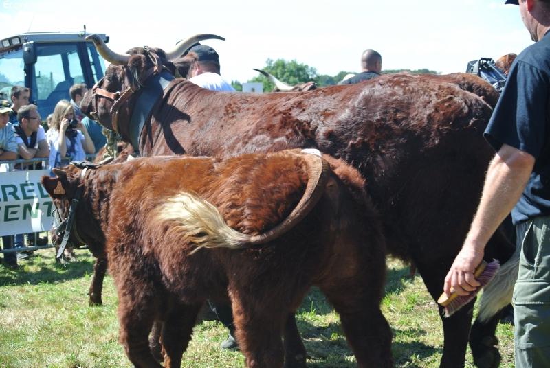 Vaches et Elevage Salers en Livradois - Page 2 1378590255Zy21QC
