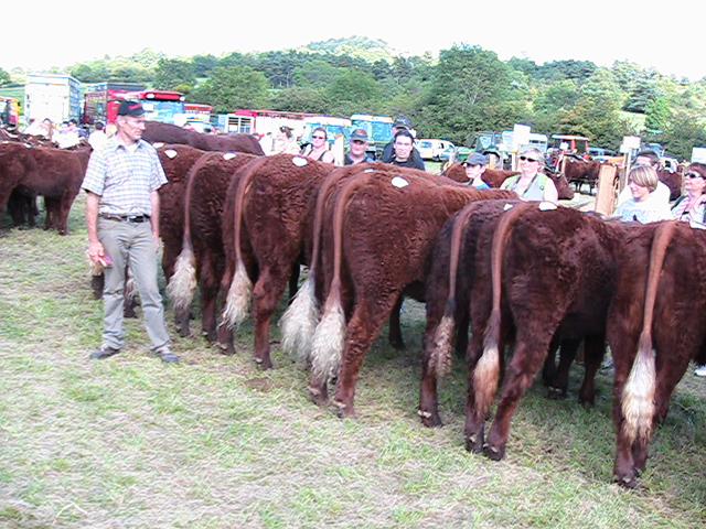Vaches et Elevage Salers en Livradois - Page 2 1411891830uCxtA0