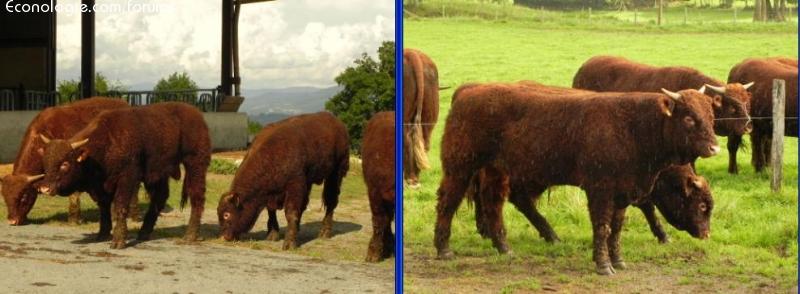 Vaches et Elevage Salers en Livradois - Page 2 1411891985VjyZJ6