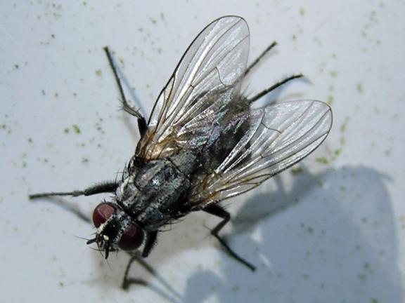 Le monde merveilleux des insectes - Page 4 Fannia