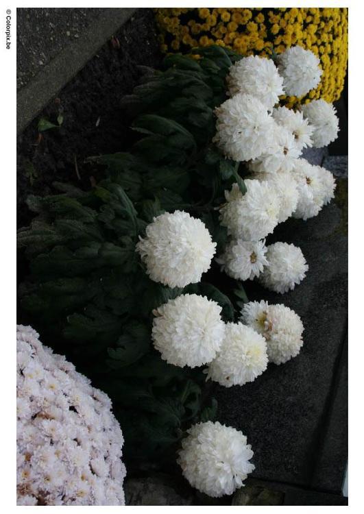 BUSQUEMOS HERMOSAS FLORES - Página 37 Es-colorear-dibujos-imagenes-foto-crisantemos-cementerio-p8351