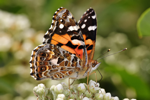 Leptiri - Page 2 Papillon-vanessa-kershawi-t14796
