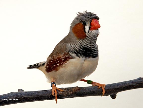 طائر الفنجس (الزيبرا) Crestmale