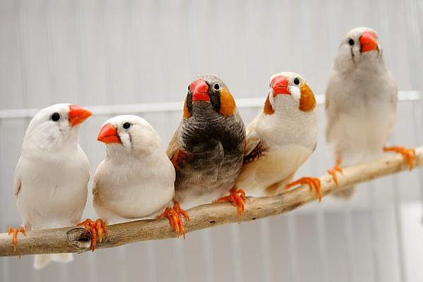 طائر الفنجس (الزيبرا) _MG_7098
