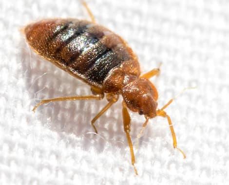 الشركة الدولية لمكافحة حشرات بجدة Bed-bug-treatment